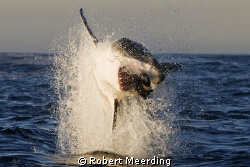 This Great White took a bite at a decoy seal during a tri... by Robert Meerding 